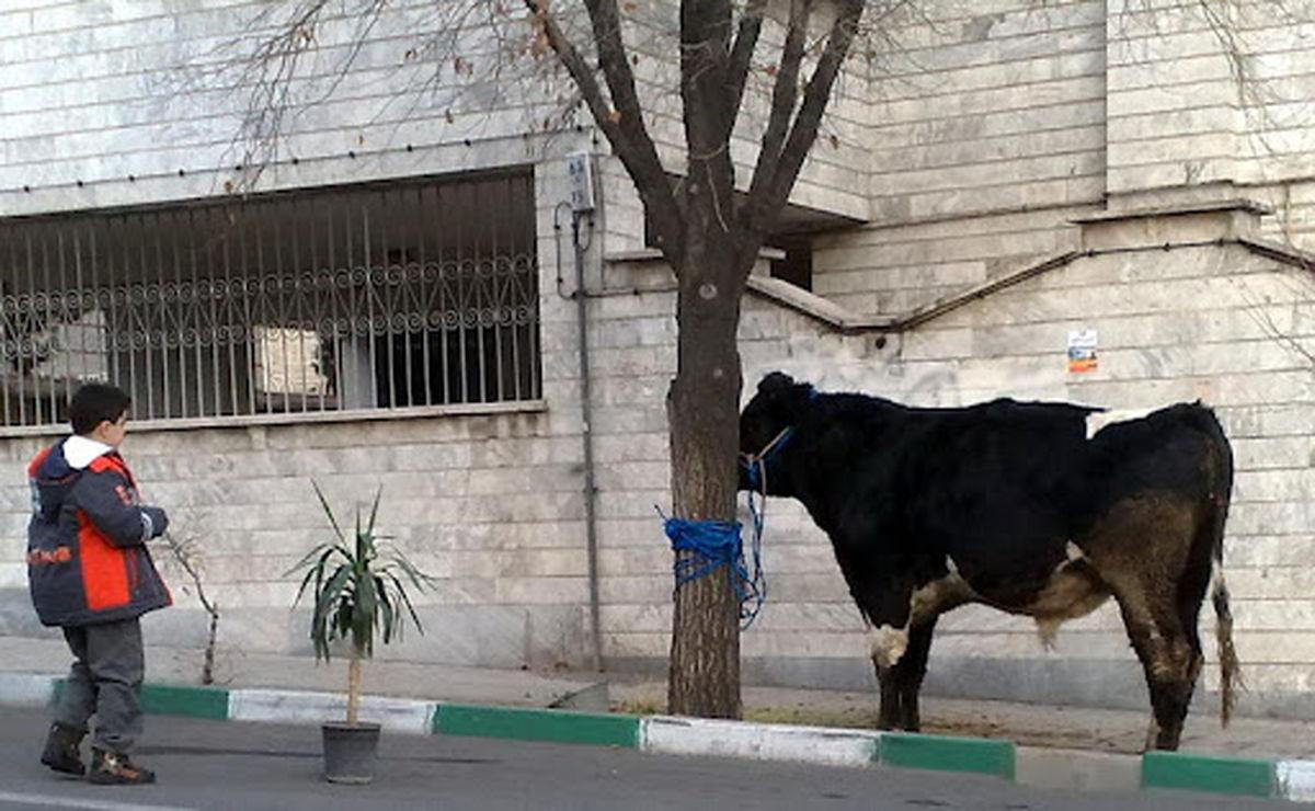 شلیک پلیس تهران به گاو فراری از ذبح،فیلم